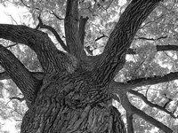 «Лесные богини» и дубы-колдуны